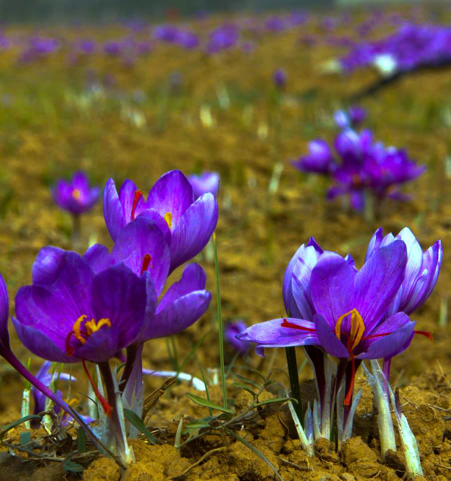 Saffron flowers at Pampore