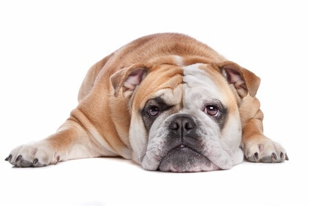 cute wrinkly dog laying down