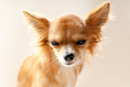 Chihuahua with scoul expression