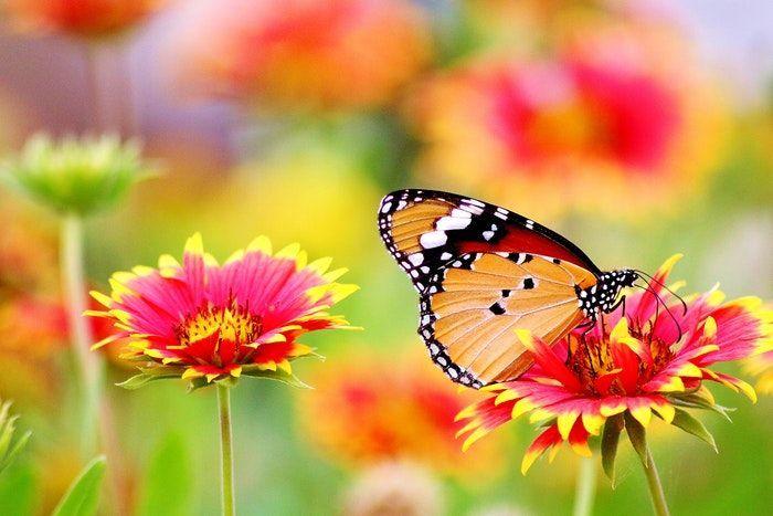 Mariposa sobre las flores.