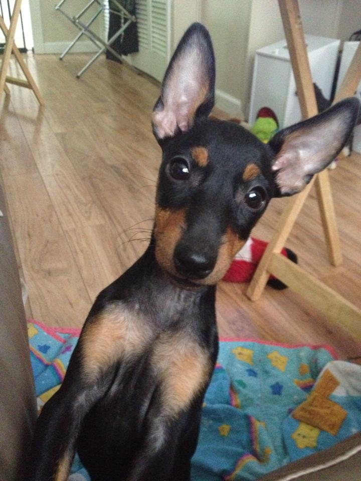 Available Maximal Manchester Terriers