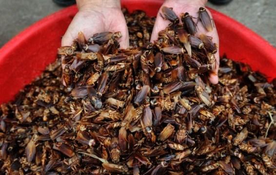 Budidaya Ternak Kecoa