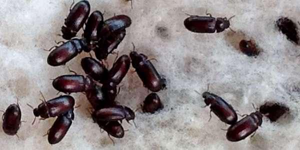 Usaha Budidaya Semut Jepang