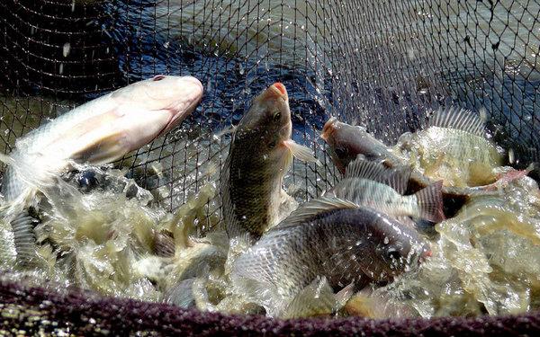 Panen Ikan Nila