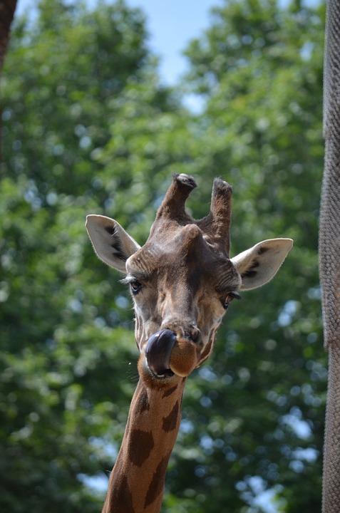 free photo animal giraffe