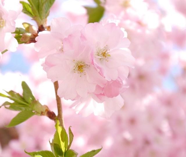 Ornamental Cherry Flowers Pink Cherry Blossom Bloom