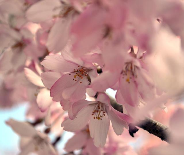 Cherry Blossom Sakura Flower Cherry Blossoms
