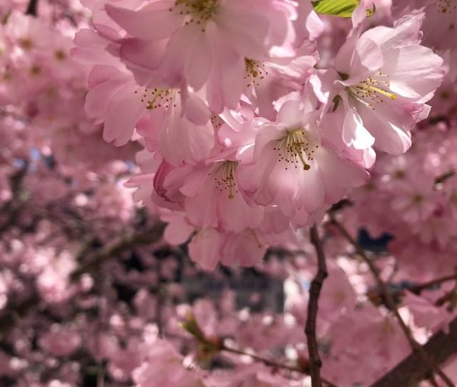 Cherry Blossom Spring Tree Cherry Pink Bloom