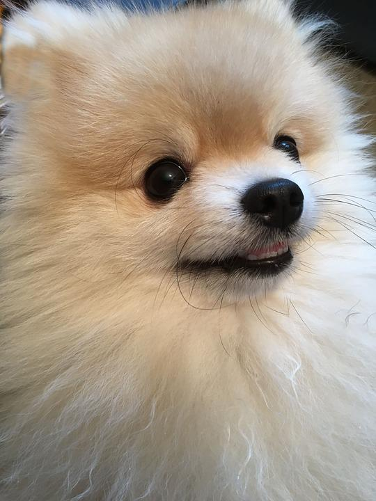 Iphone X Wallpaper Size Px Free Photo Cute Dwarf Spitz Playful Fluffy Small Dog Sweet