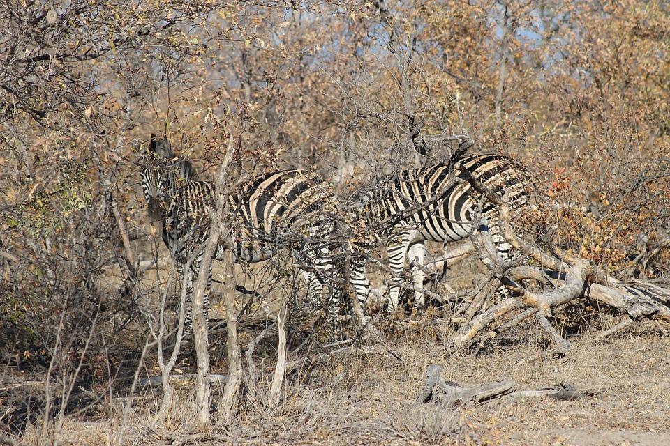 free photo disguise zebra