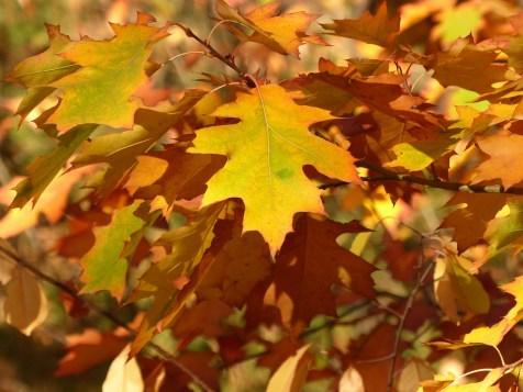 Leaves, Autumn, Fall Foliage, Fall Color
