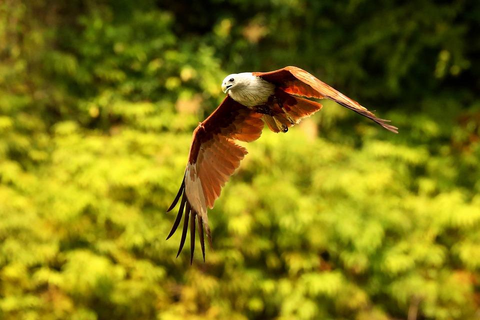 free photo hawk flying