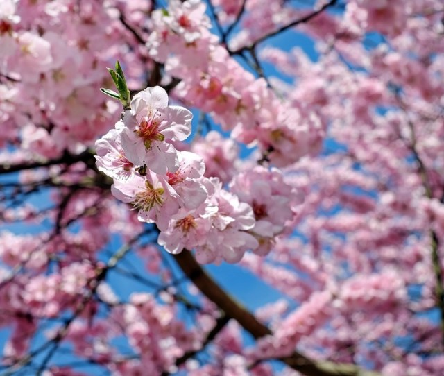 Japanese Cherry Trees Flowers Pink Tree Flower Tree