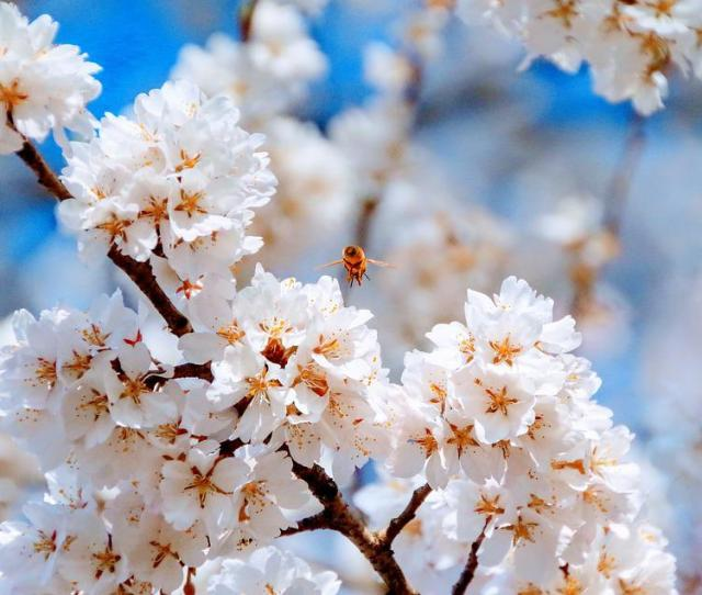 Cherry Blossoms Spring Flowers Japan Blue Sky Pink