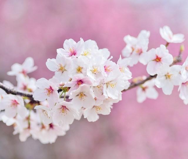 Cherry Blossoms Landscape Spring Plant Flowers