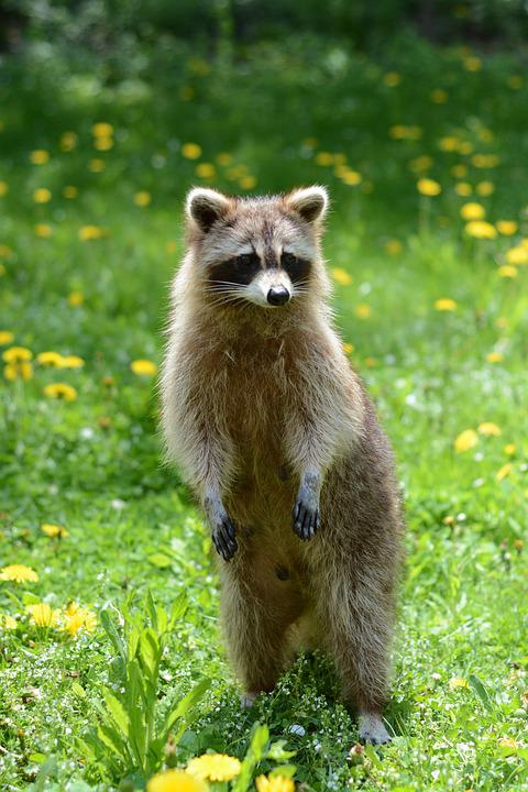 Forest Animal Wallpaper Free Photo Summer Animal Wild Raccoon Wildlife Racoon