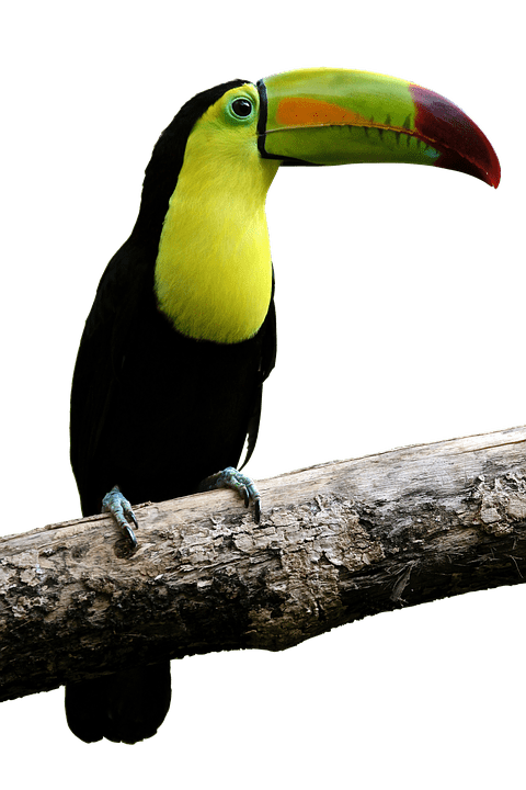 Free Photo Toucan Colorful Bill Bird Parrot Beautiful Fly