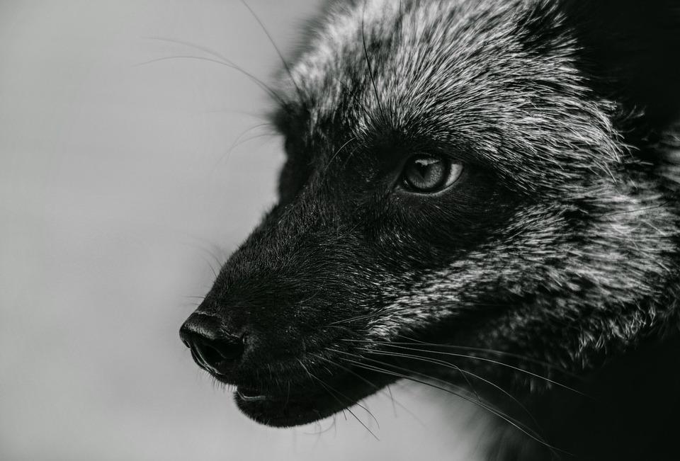 Free Animal Wallpaper Backgrounds Free Photo Wild Foxes Fox Animal Black Fox Silver Fox