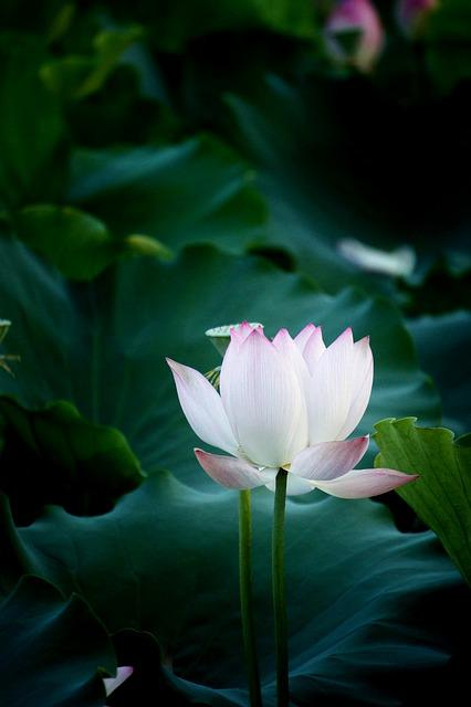 Black And White Leaf Wallpaper Free Photo Flower Lotus Photography Natural Max Pixel