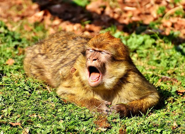 Cute Friends Wallpaper Download Free Photo Yawn Cute Endangered Species Barbary Ape Max