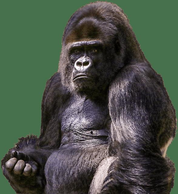 Free photo Zoo Png Ape Primate Wild Gorilla Mammal Animal