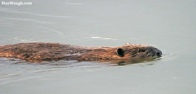 Image result for muskrat otter