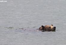 Animal Identification Throwdown: Otter vs. Beaver vs