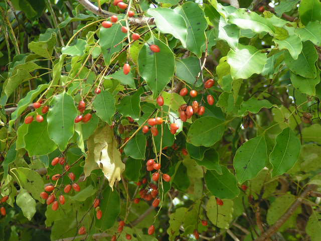 Image result for chen chen tree