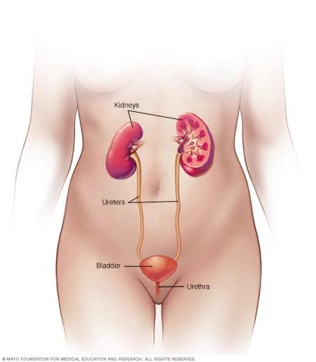 Aparato urinario femenino  Vejiga Hiperactiva r7 urinarytractlabeled 8col