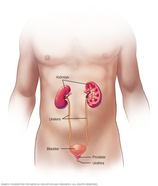 Aparato urinario masculino  Infección en las vías urinarias r7 maleurinary 8col