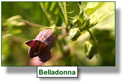 belladonna homeopathy remedy