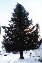 The spruce / gyscha rendy every yard looks better with a mature shade tree in it. Life In The Taiga