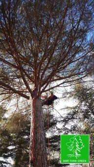 Potatura pino domestico