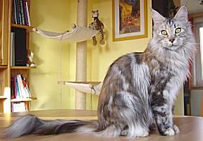 silber torbie Maine Coon Katze