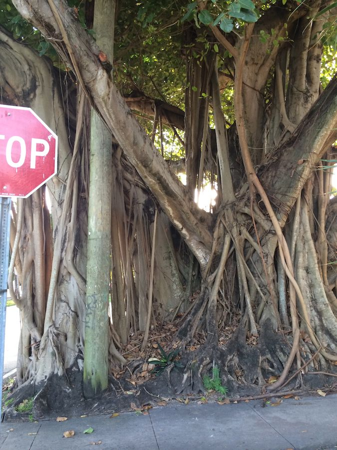 Quirky South Florida: banyan tree