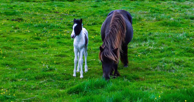 iceland photos horses