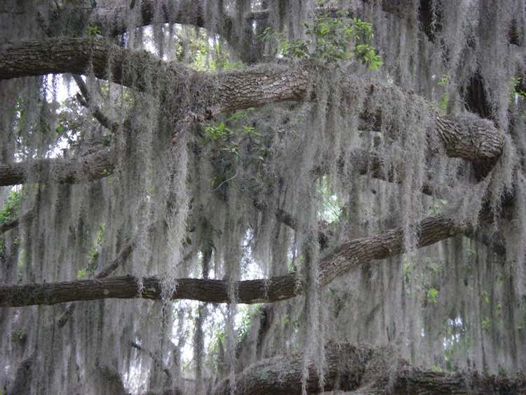 thick moss covering oak tree in Florida