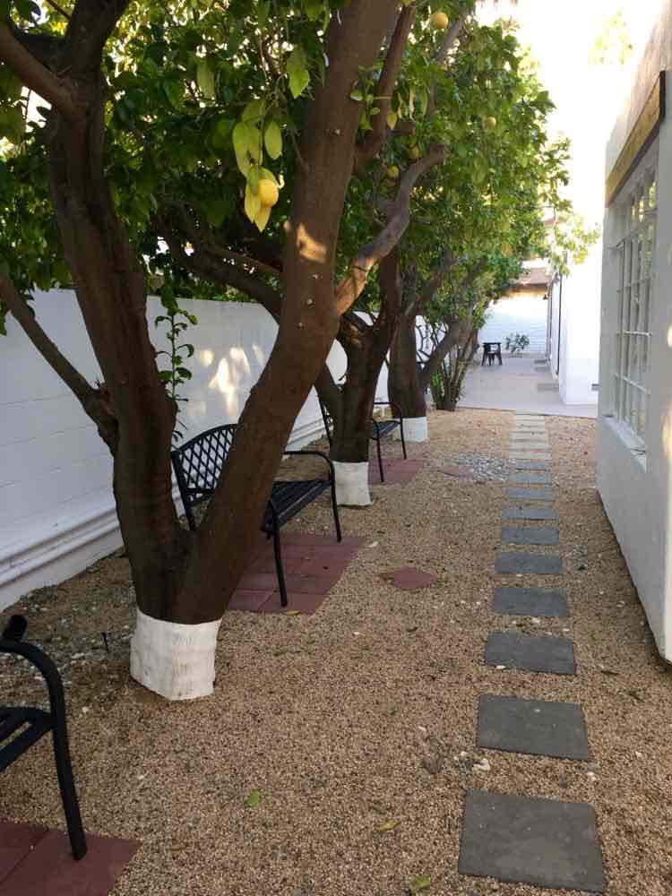 elegant row of grapefruit trees