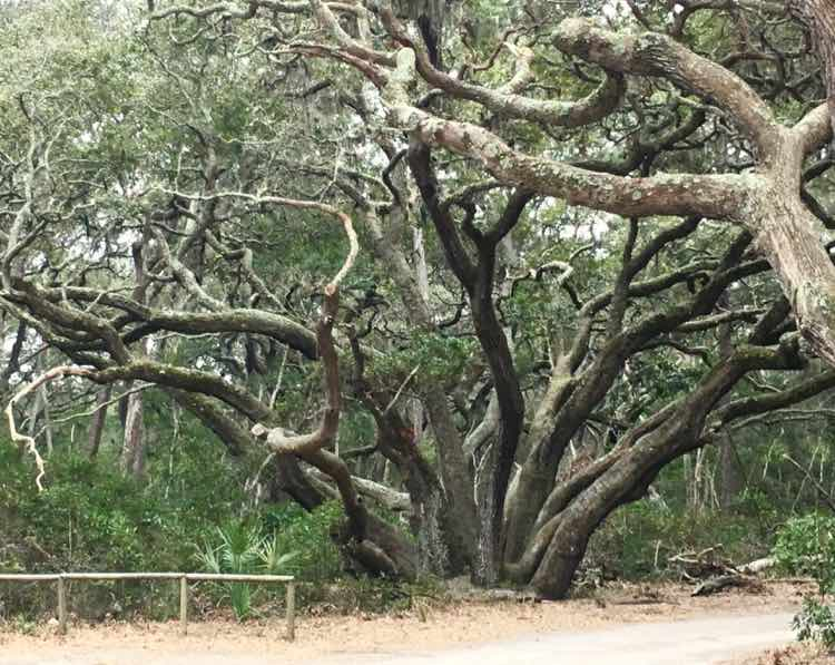 amazing oak tress in Big Talbot Island State Park