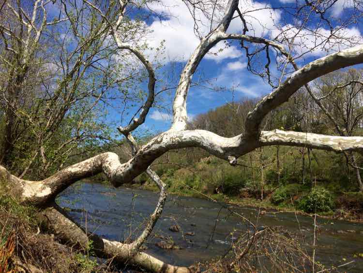 Rivanna River with weathered tree