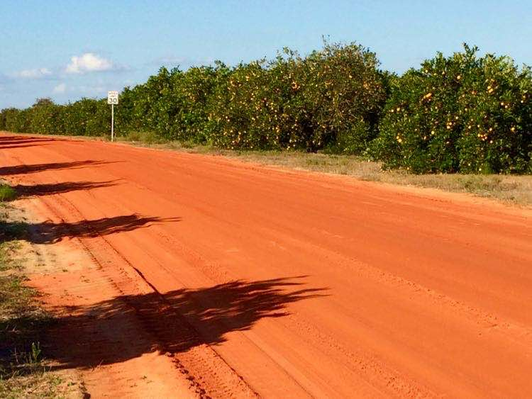 Florida orange dirt road through citrus grove