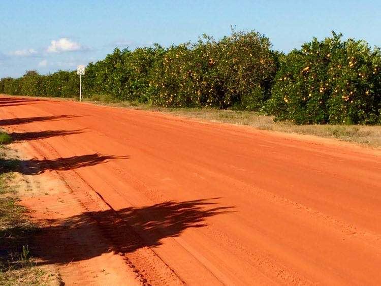 Florida orange dirt road through citrus grove