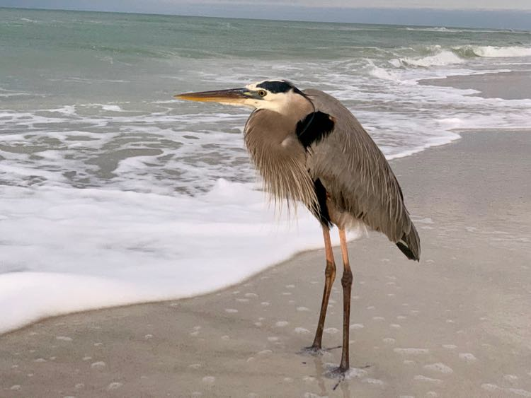 close up of great blue heron