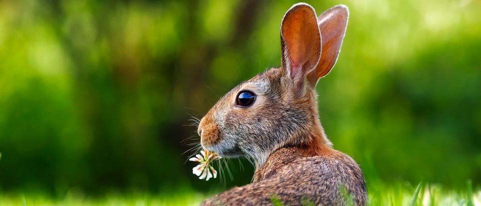 rabbits have hinged skulls