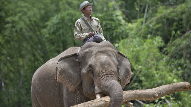 In this  June 27, 2016, photo, mahout Than Lwin sits atop a tamed elephant which carries a log at Myanmar government owned tame-elephant hut in Kabyin Lwin, northern Sagaing division, Myanmar. Since May 2016, the Myanmar government led by Aung San Suu Kyi announced a nationwide logging ban for this fiscal year, ending these elephants regular work of pulling logs from jungles. (AP Photo/ Gemunu Amarasinghe)