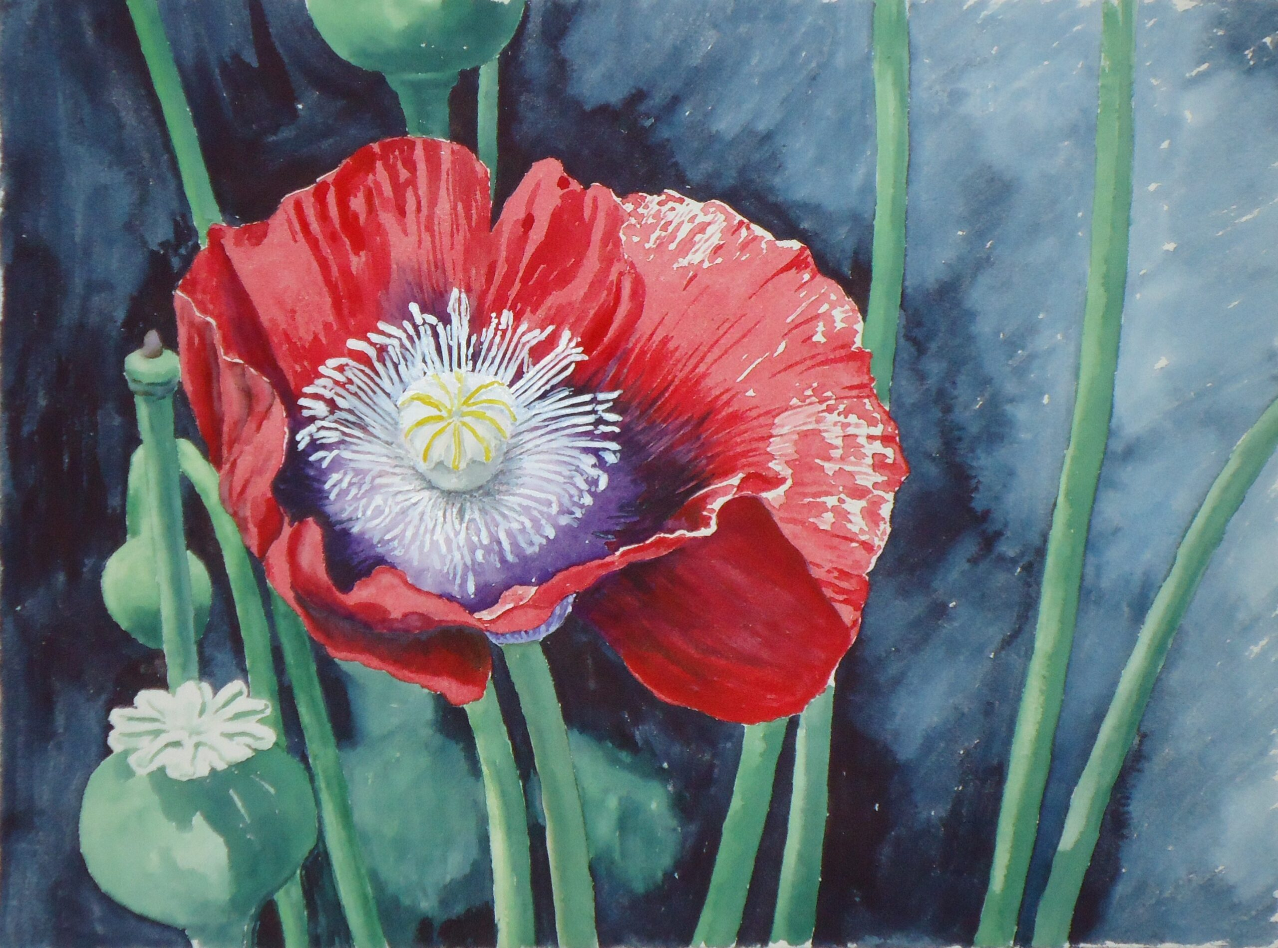 A water colour painting of a red poppy by Keith Cains.