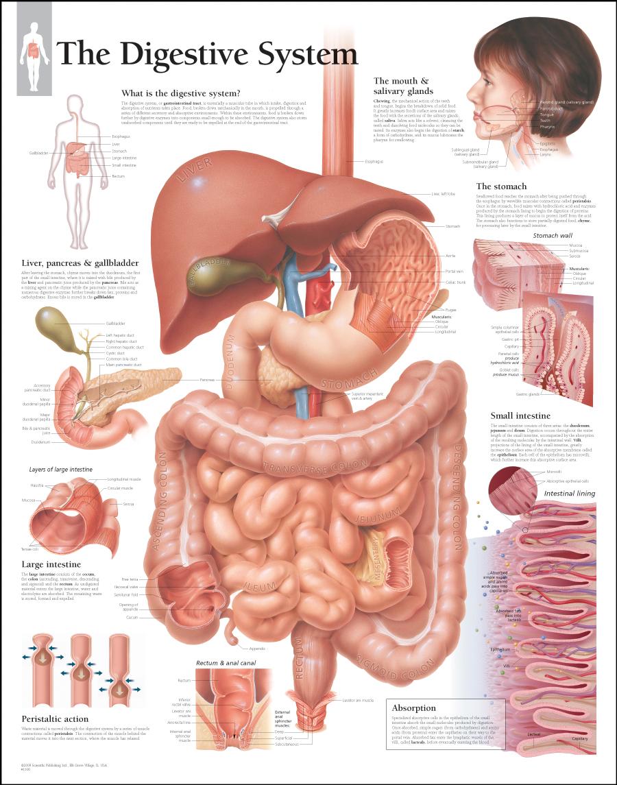 medium resolution of digestive system laminated scientific publishing rh mcssl com human body digestive system diagram digestive system diagram