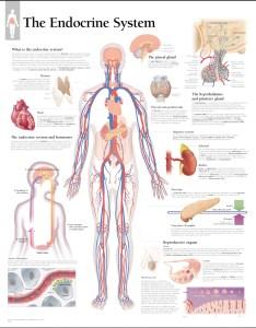The endocrine system laminated also scientific publishing rh mcssl