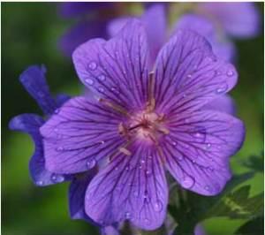 violet-web