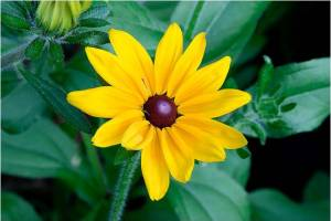 Black-Eyed_Susan photo
